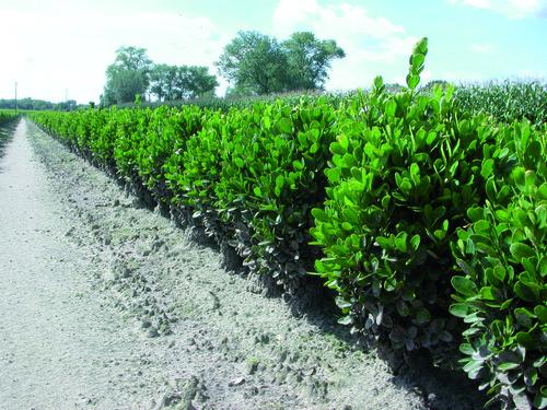 Haies de buxus plante de buis achat en racine nue - Haie de buis hauteur ...