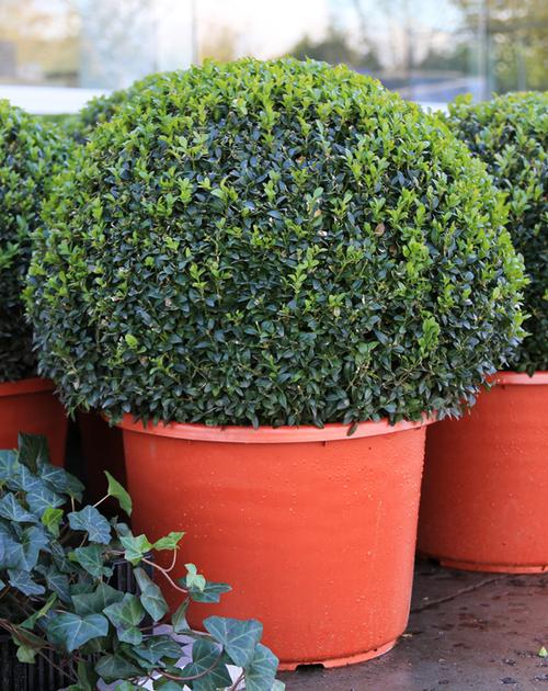 conseils et astuces pour planter des haies de buxus buis en terre ou en pot. Black Bedroom Furniture Sets. Home Design Ideas