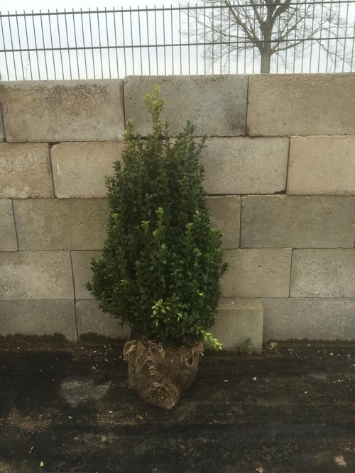 Haies de buxus plante de buis achat en racine nue for Plante 60 80